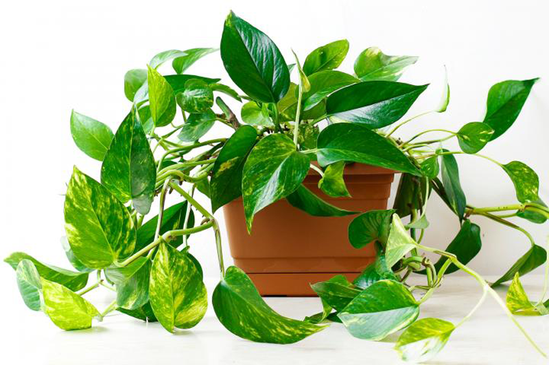 Introducing 30 of the best houseplants - hardy, easy to maintain, special appearance